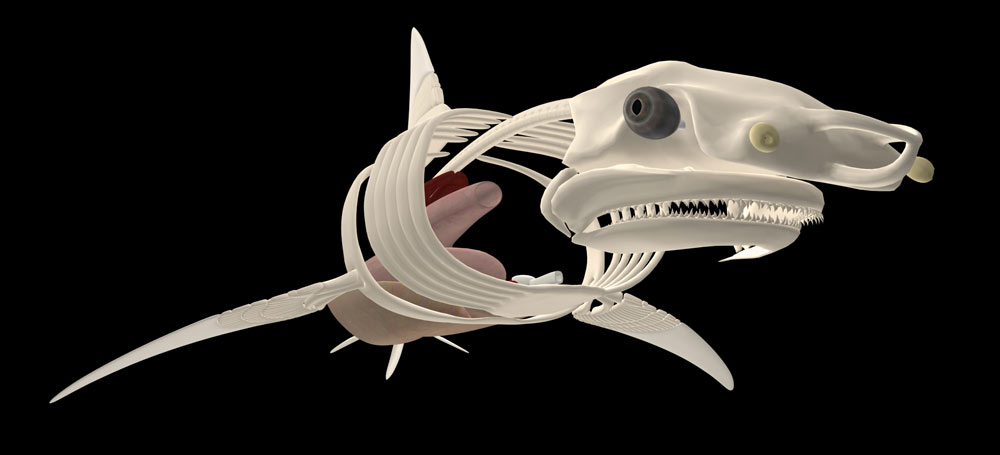 02-shark-skeleton.jpg